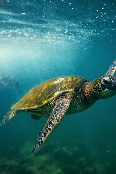 Usa hawaii hawaiian green sea turtle