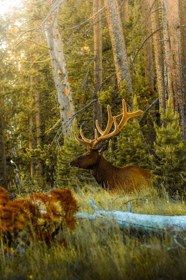 USA Wyoming Yellowstone Nationalpark Elch