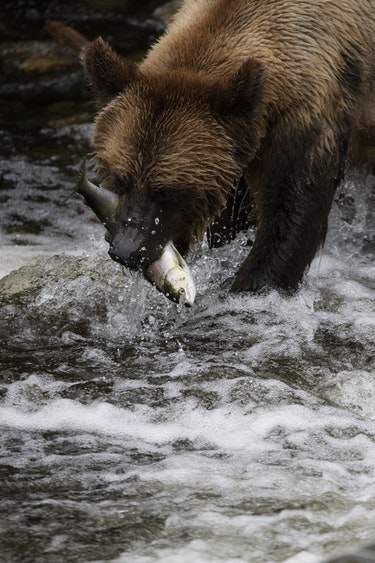 ca_vancouver island_grizzly bear catching a salmon at knight inlet_wildlife