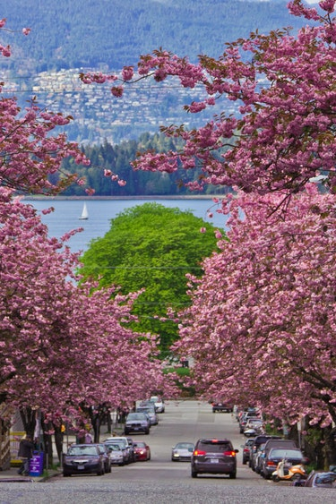ca_vancouver_spring_cherry blossoms
