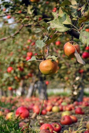 canada-food-apple-orchard-trees