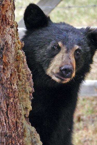 Can pix bear 50032arttower bc