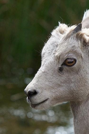 Can pix bighorn sheep don orchard alberta