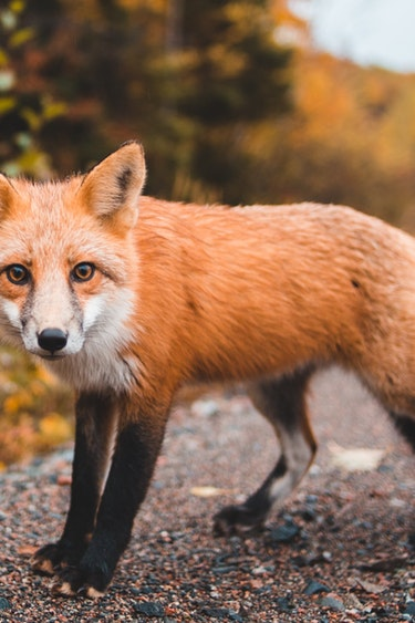 Can fox erik mclean unsplash