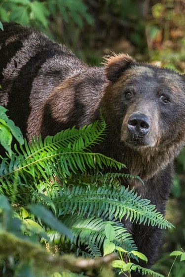 ca_couples_ klahoose wilderness resort grizzly bear_forest