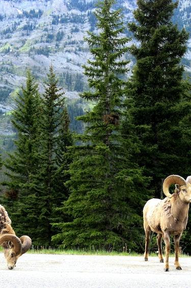 ca_couples_mountain goat_banff_wildlife