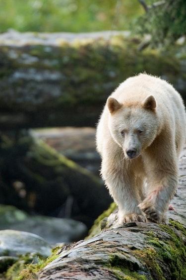Can spirit bear great bear rainforest credit ian mcallister pacific wild