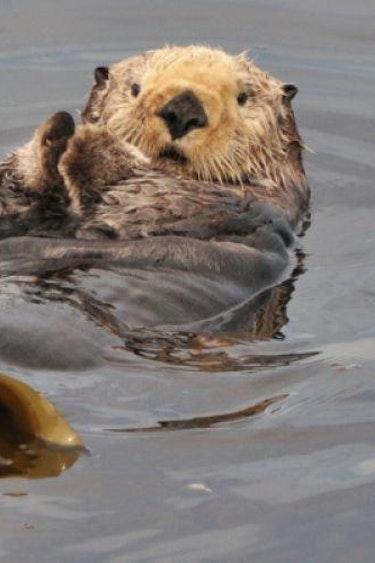 5746 Archipelago Wildlife Cruises 1618223113 Sea Otters 01 600x400 c