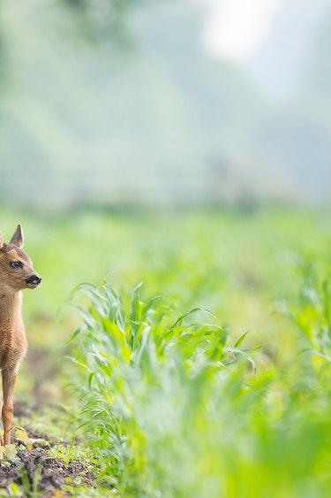 canada-spring-baby-deer