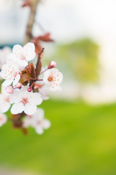 canada-spring-cherry-blossoms-vancouver