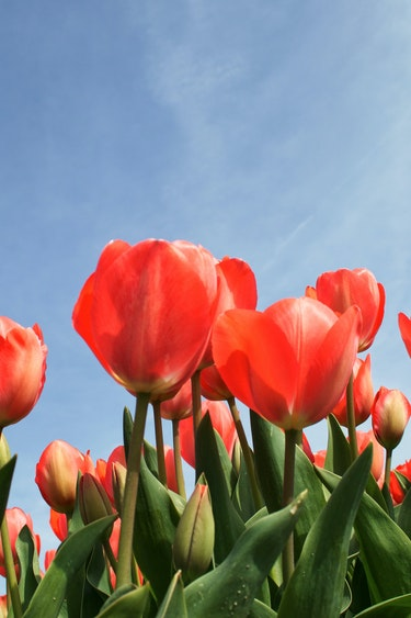 canada-tulips-spring-flowers