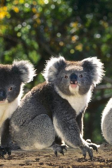 Koala vacancy header