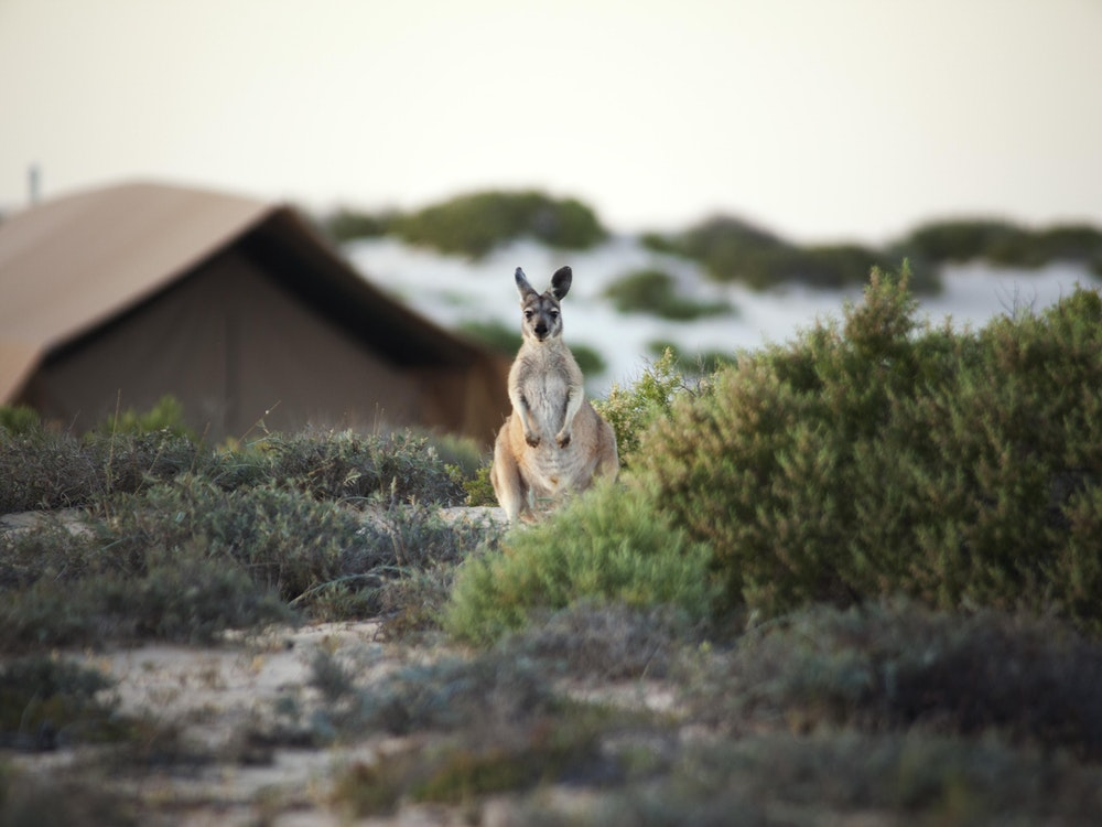 Kangaroo in front of accommodation | Australia wildlife