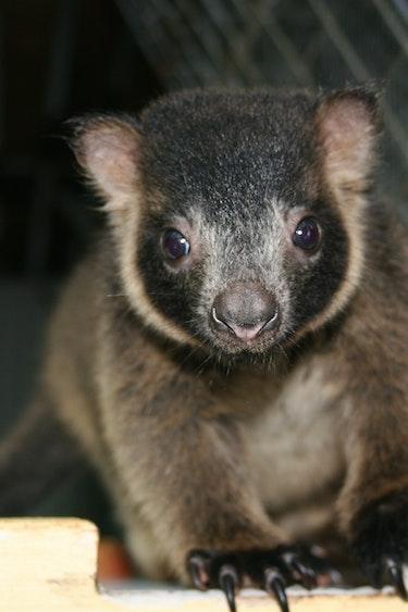 Wildlife Lumholtzs Tree Kangaroo Joey