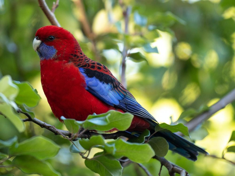 Crimson Rosellas | Australia wildlife