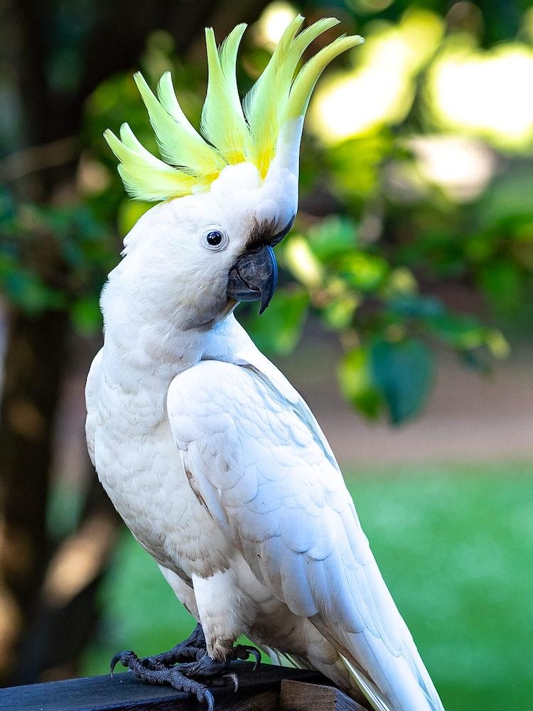 Relaxed Cacatua Galerita | Australia wildlife