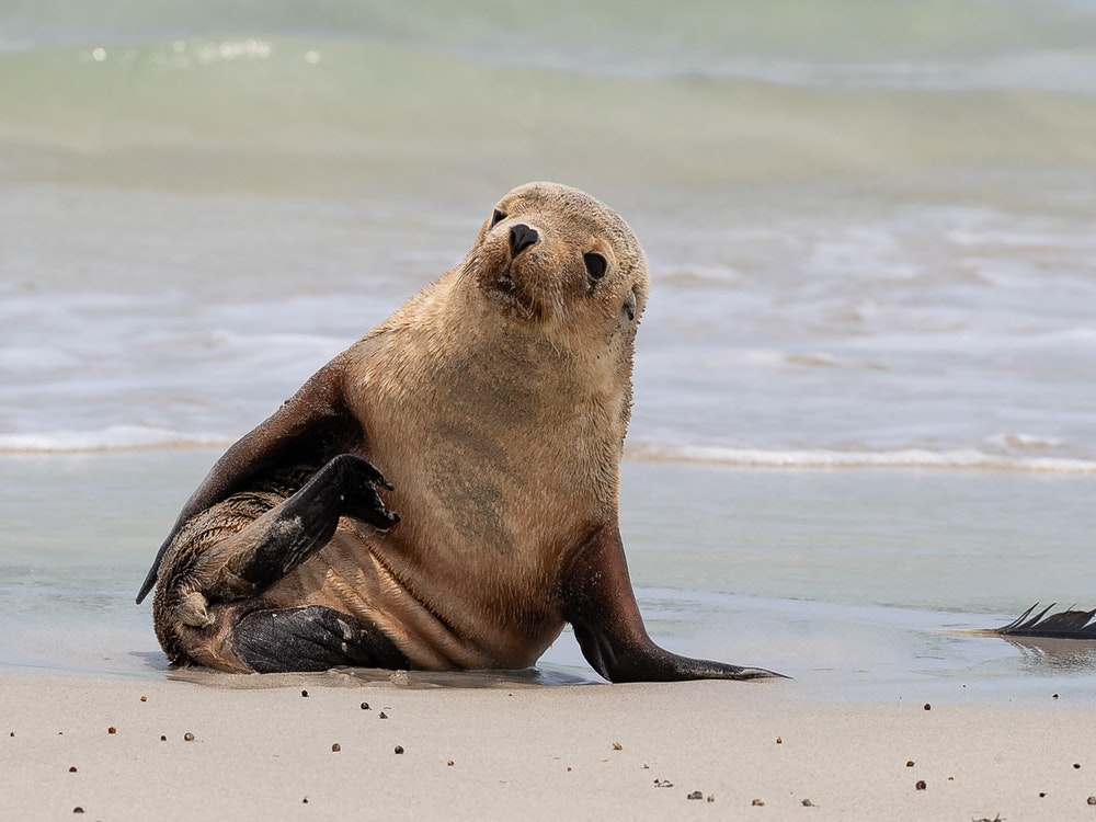 Seal | Australia wildlife