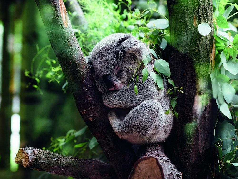 Koala in tree | Australia wildlife