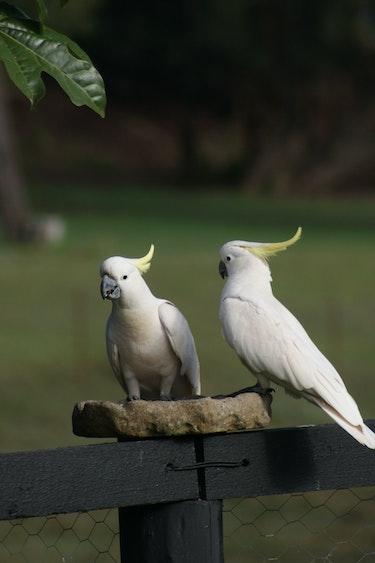 aus lamington sulpur crested cockatoo birds