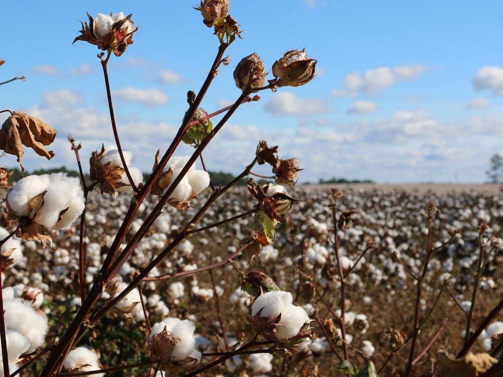 Cotton field farming | Australia holiday