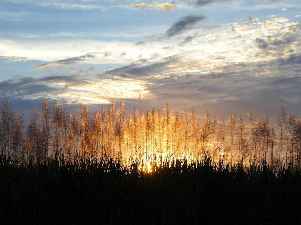 Sugar cane fields | Australia holiday