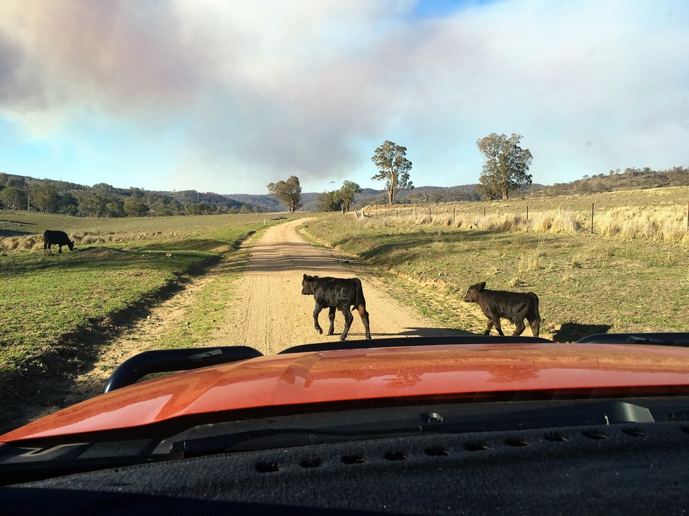Cows over road | Australia holiday