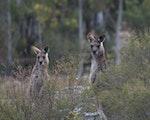 Kangaroos in Blue Mountains | Australia wildlife