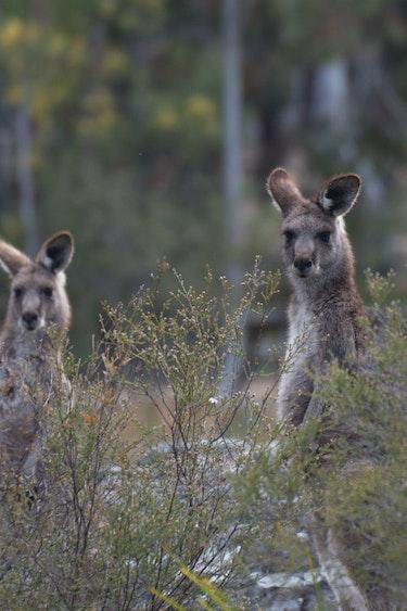 Kangaroos in de Blue Mountains