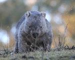 Wombat | Australia wildlife