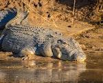 Crocodile Mission Beach   Australia wildlife