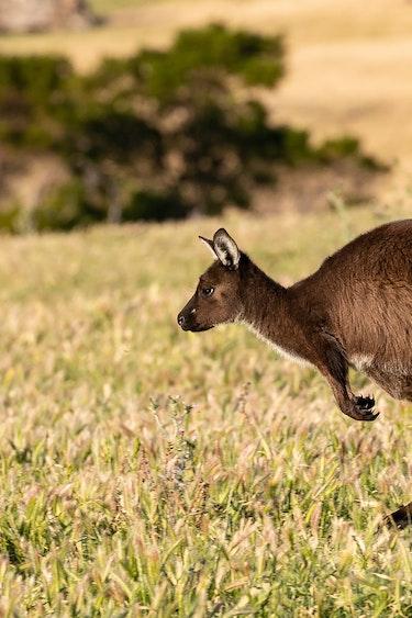 au bouncing kangaroo personal landing page family header