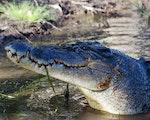 Crocodile in Daintree | Australia wildlife