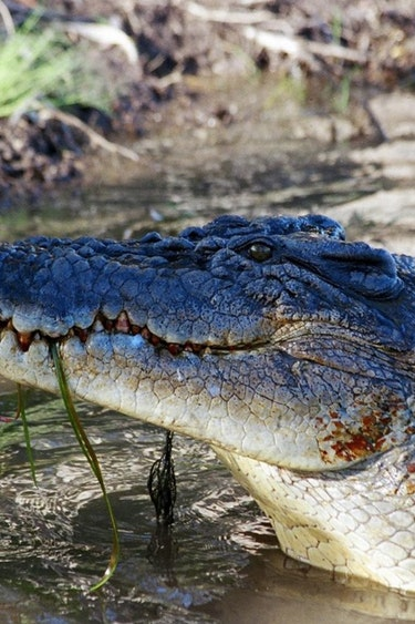 Aus daintree river cruise crocodile family see and do easy going