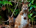 Happy Wallaby family | Australia wildlife