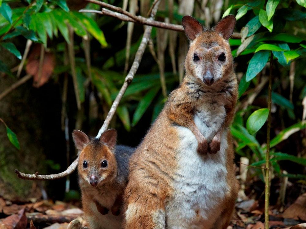 Happy Wallaby family   Australia wildlife