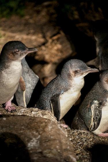 Auz bicheno penguin tour 1 family easy going