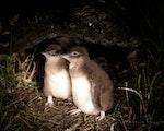Cute little penguins   Australia wildlife
