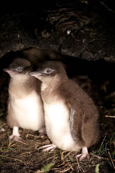 Auz bicheno penguin tour 3 family easy going