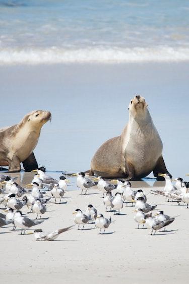 aus kangaroo island australian sea lion