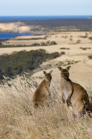 aus kangaroo island kangaroo beach