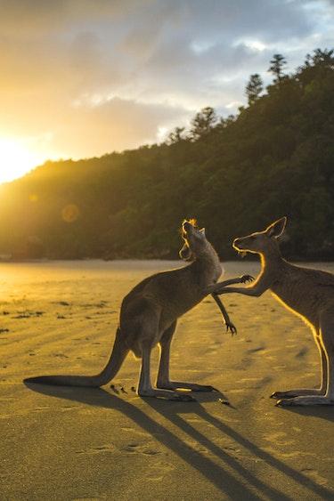 Aus kangaroos play at beach
