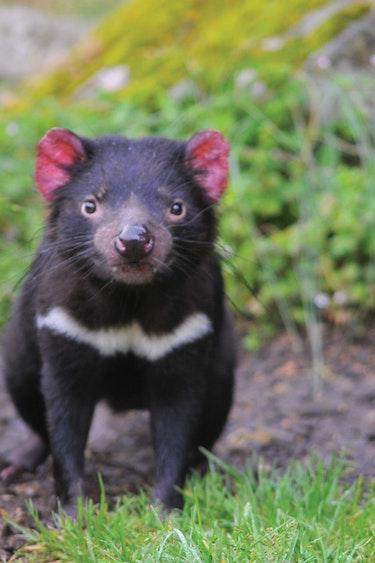 aus tasmanian devil tasmania animal