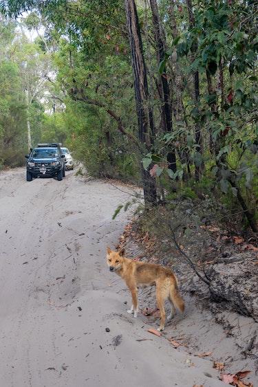 Au fraser island dingo cars personal detailed page partner cars meduim