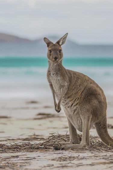 aus kangaroo at lucky bay