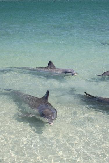 aus dolphins