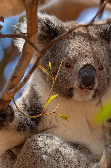 au koala best time solo