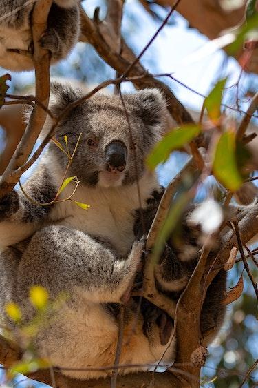 Au koala tree personal landing page solo length of holiday