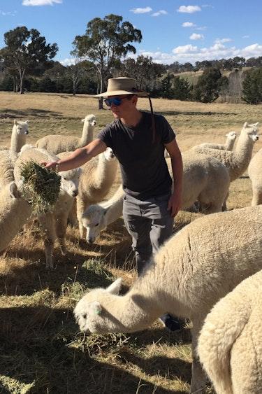 Au armidale alpaca farm garden feed solo stays comfortable