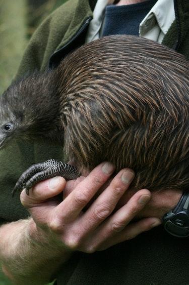 Nz kiwi bird