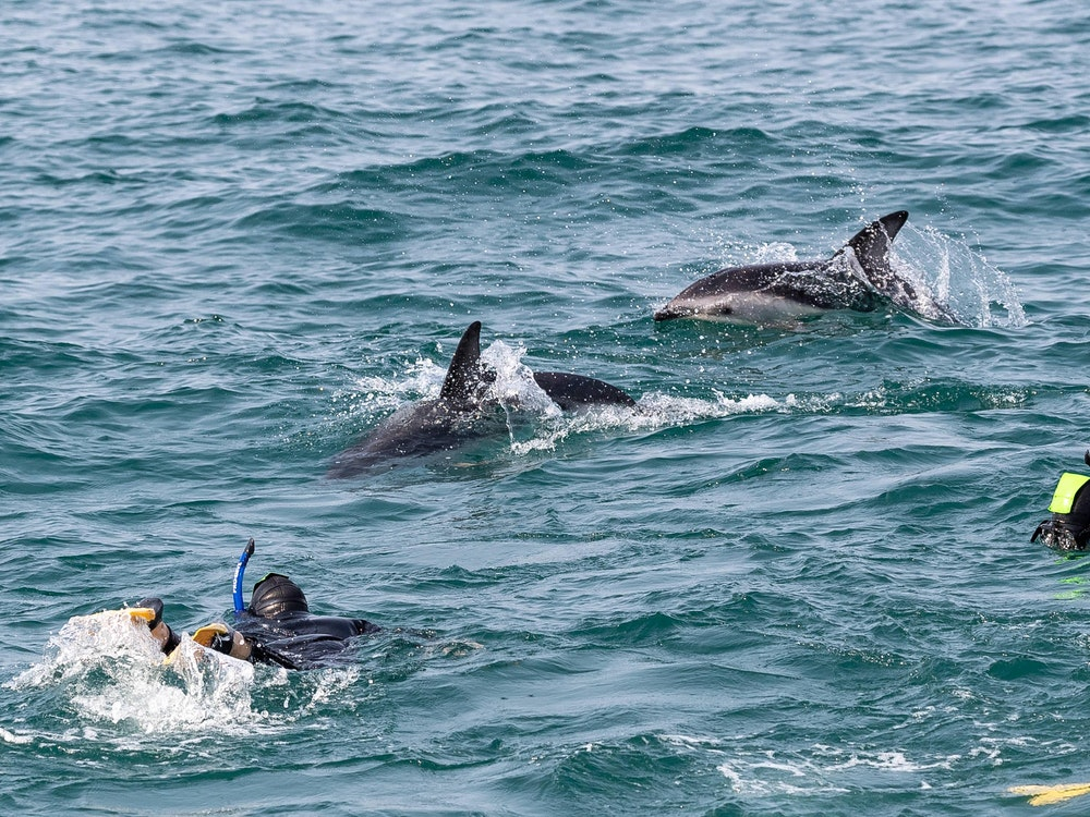 Swim with dolphins in Kaikoura's nutrient-rich waters